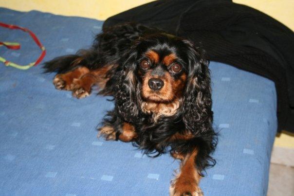 Bridgette, portrait et pedigree dans Les Cavaliers King Charles 11070_1266479629041_2170497_n1