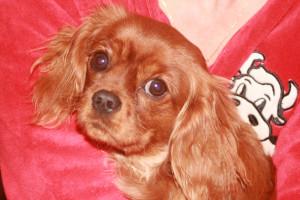 Holly, portrait et pedigree dans Les Cavaliers King Charles img_4406-300x200